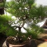 pine example