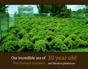 Bonsai Trees and Junipers
