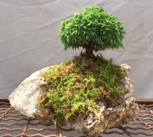 Tsukumo Swara Cypress