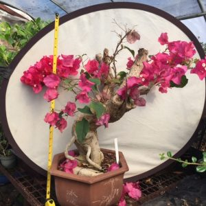 Bougainvillea Bonsai Stump