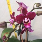 potted mini orchid flower