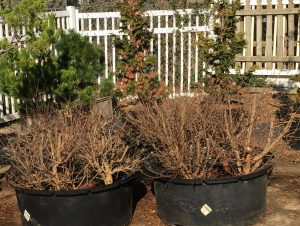 newly harvested trident maples