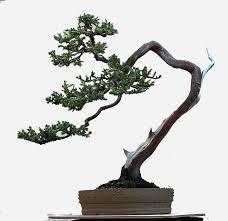 literati juniper