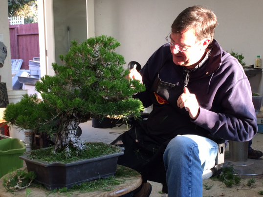 Fall Maintenance For Pines and shimpaku:  Needle Removal, Bud Selection and Wiring with Adair