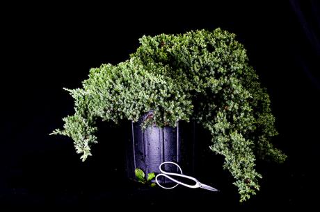 pre-bonsai-juniper