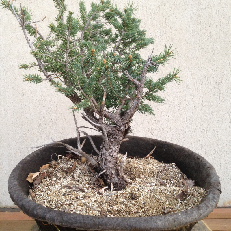 Yamadori & Basic Bonsai Design  with Larry Jackel