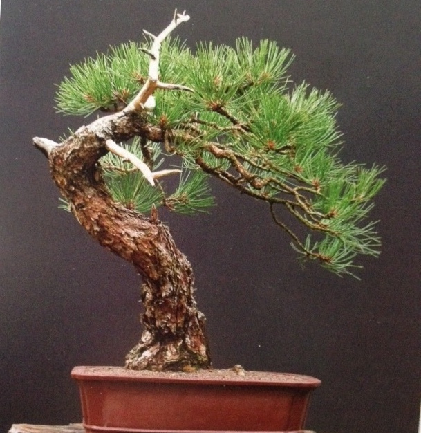 This Seasons Kickoff Class is:  Black Pine Ramification and Repotting