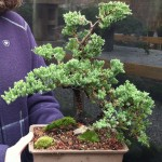 juniper bonsai workshop