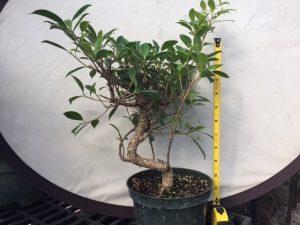 Tiger Bark Ficus