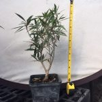 Willow Ficus Pre Bonsai