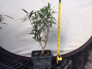 Willow Ficus Pre Bonsai