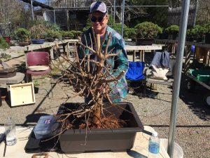 Trident Maple Bare Root & Potting Workshop 2017