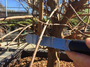 Trident Maple Bare Root & Potting Workshop 2017
