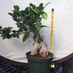 Ginseng Ficus tropical pre-bonsai