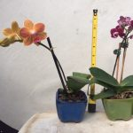 potted mini orchid