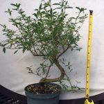 pre bonsai serrisa