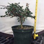 tea tree pre bonsai