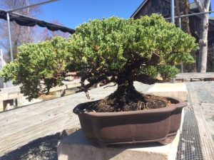 10 year old juniper bonsai