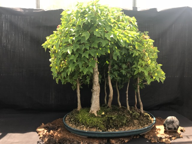 Free BONSAI Exhibit at  Plant City Bonsai  Sunday May 5    Time:  11:00 – 5:00
